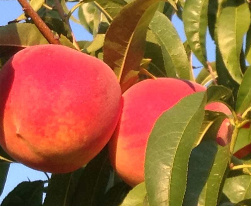 Ripe Cresthaven peaches